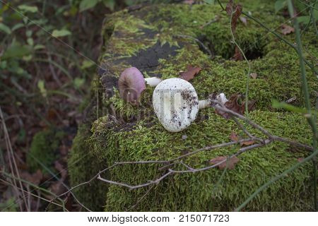 The stump in forest is completely covered with green moss on the stump Mushrooms. Forest background