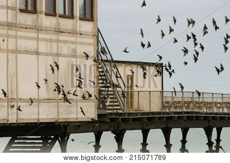A flock of starlings arriving at their roost in an old Victorian pier in Aberystwyth, Wales.
