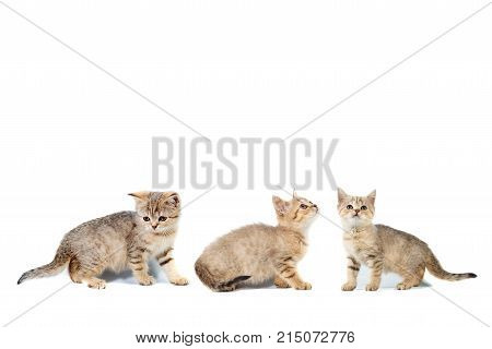 Three Kittens Scottish Straights Collage Banner With Copy Space With Place For Text On White Isolate