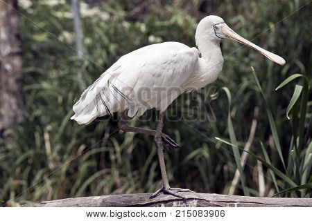 the yellow spoonbill is standing on one leg