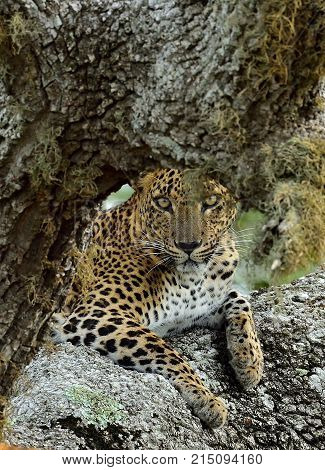 Leopard Female. The Sri Lankan Leopard (panthera Pardus Kotiya). Yala National Park. Srilanka
