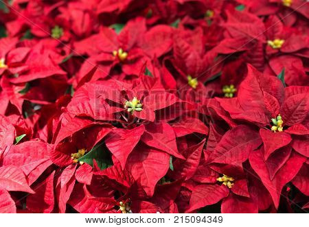 Top view of beautiful red Poinsettia christmas flower