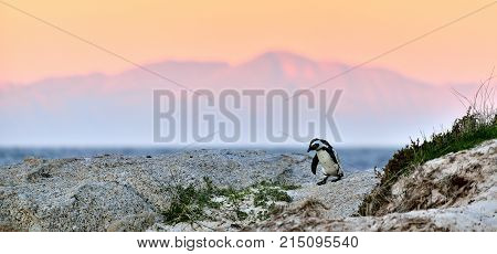 African Penguin (spheniscus Demersus) The African Penguin On The Shore In  Evening Twilight. Sunset