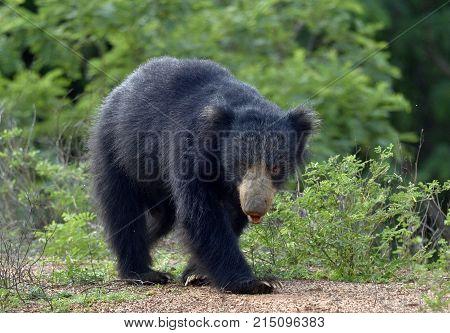 The Sri Lankan Sloth Bear (melursus Ursinus Inornatus) Is A Subspecies Of The Sloth Bear Found Mainl