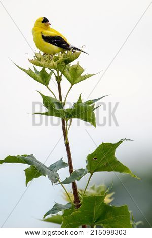 A yellow finch also known as a goldfinch or the scientific name Spinus Tristus perched on top of a maple tree