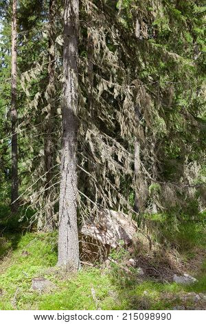 Beard moss hanging in spruce tree branches in forest