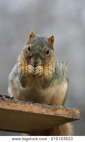 Close up of a squirrel on a perch facing the camera while eating sunflower seeds. It is holding the seed with both paws. Photographed in natural light.