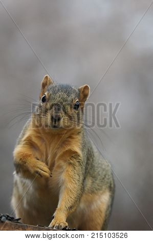 Close up of a squirrel on a perch looking at the camera. It is holding its right paw to its chest. Photographed in natural light with a shallow depth of field. .