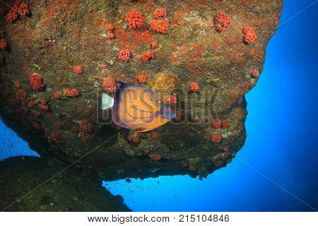 Angelfish fish underwater