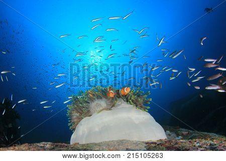 Clownfish (Clown Anemonefish)