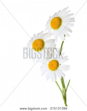 Three Chamomiles  (Ox-Eye Daisy ) isolated on white background.
