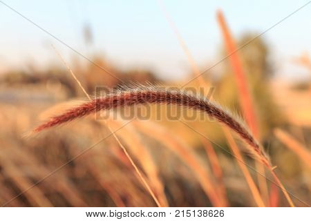 The Thin Spike Of Fluffy Grass With Dew At Morning