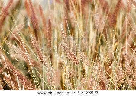 Dry fluffy background of a spiked grass