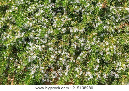Background From Many Small Bright White Flowers