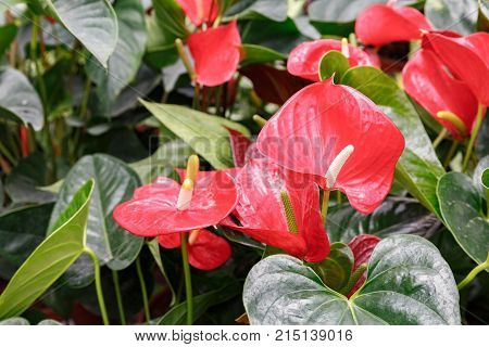 Many Ripe Red Anthuriums