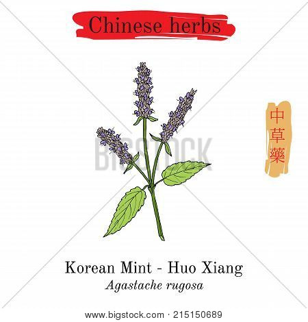 Medicinal herbs of China. Korean mint Agastache rugosa , or blue licorice, purple giant hyssop. Hieroglyph translation Chinese herbal medicine