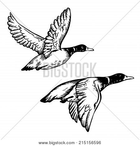 Wild flying duck birds engraving vector illustration. Scratch board style imitation. Hand drawn image.