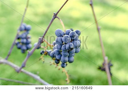 Blue vine grapes. Grapes for making ice wine. Detailed view of a frozen grape vines in a vineyard in autumn