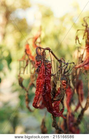 Dry ripe red homegrown chili pepper in organic vegetable garden