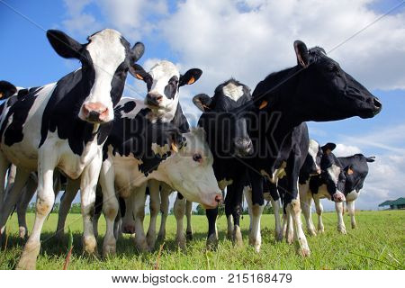 Holstein cows cattle in the meadow