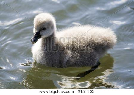 Cute Swan Cygnet