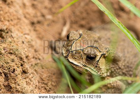 Toad hibernate. in asian tropical Thailand. Toad .