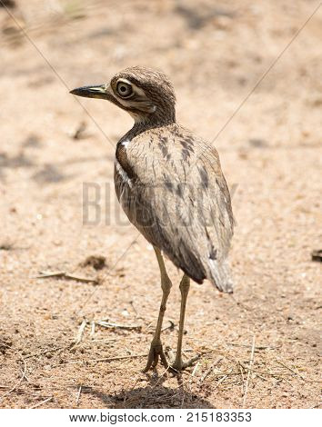 Portrait of a full framed Spotted Thick-knee or spotted dikkop (Burhinus capensis) in South Luangwa National Park Zambia