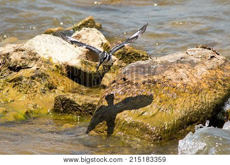 Pied Kingfisher in flight with a good full shadow of wings showing on the rocks below.  Lake Malawi, Southern Africa