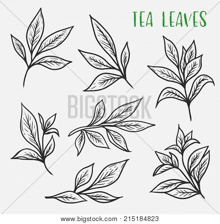 Set of isolated sketches of ceylon or indian tea leaves. Organic plant for drink spice or ingredient, beverage. Stem or sprout from plantation of black or green tea. Nature and drink, harvest and crop
