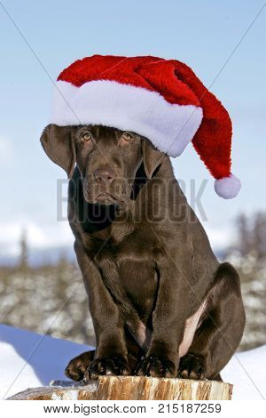 Chocolate Labrador Retriever with Santa Hat sitting outside looking serious