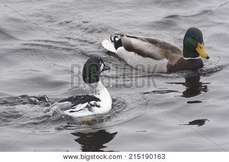 goldeneye mallad bird duck nature animal lake