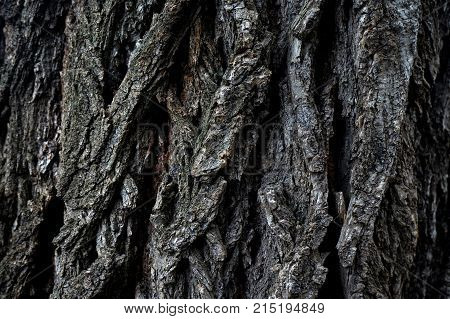 Nature has created its own unique pattern on every creature. One of them is the bark of trees. The pattern on the bark of each tree is complex and unique. In this photo only a small part of this miracle is the bark of ash.
