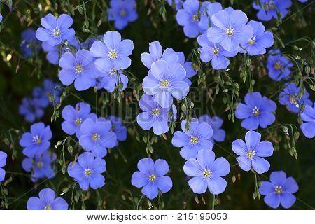 Blue flowers of decorative linum austriacum and its runaways on a dark background.