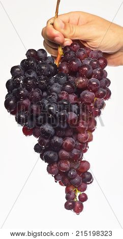 Farmer Presents His Harvest. Winegrower Shows Cluster Of Grapes.