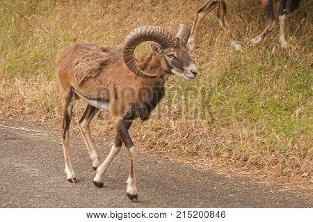 It is image of mouflon in park