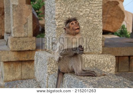 A indian macaque monkey among ancient ruins of Hampi. Funny macaque. The monkey meditates on a stone in the jungle of Hampi Karntaka State India.