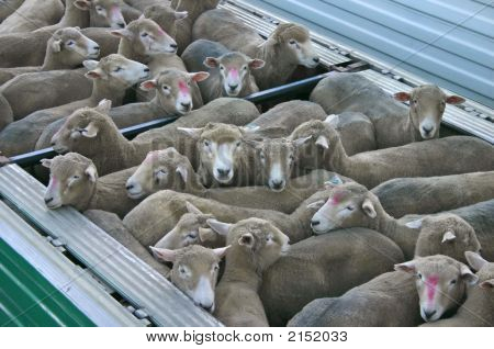 Sheep Transported In Container.