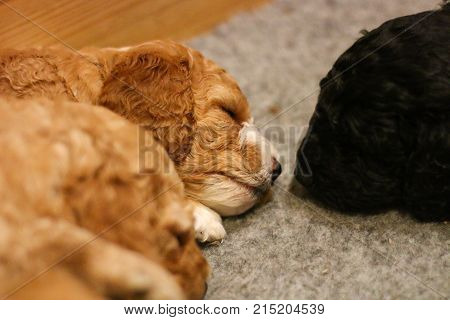 A pair of brown and black cockapoo puppies sleeping