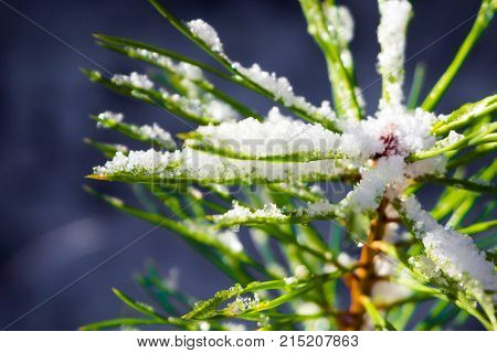 Branch of a coniferous spruce snowy morning. Details of the winter forest. The nature of coniferous trees.