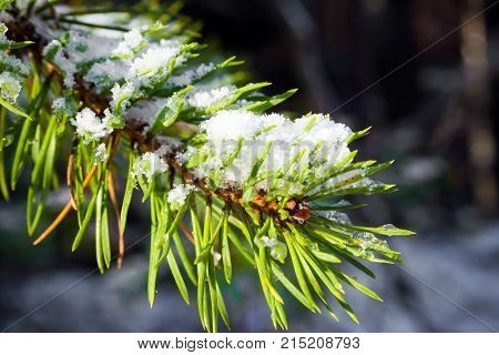 Branch spruce snow-covered conifers. Details of the winter forest. The nature of coniferous trees.