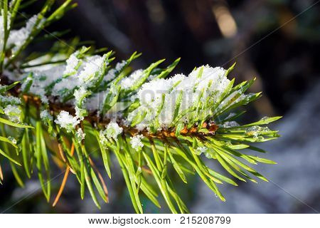 Branch spruce snow covered conifers. Details of the winter forest. The nature of coniferous trees.