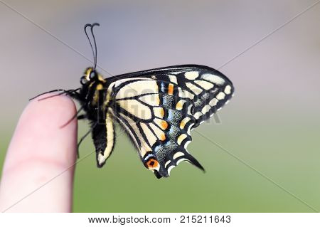 Life at your Fingertips. Anise Swallowtail Butterfly resting on a human finger.