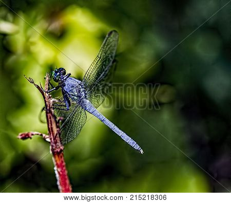Blue dasher on a twig. Pachydiplax longipennis.