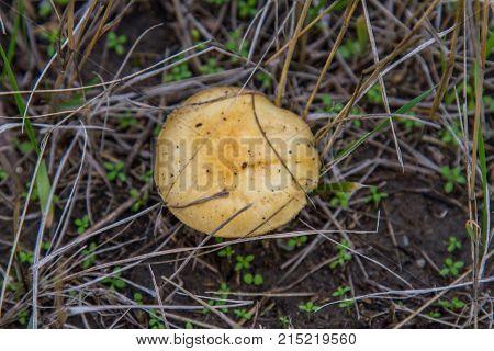 Spiderweb (latin Cortinarius) Is The Genus Of Fungi