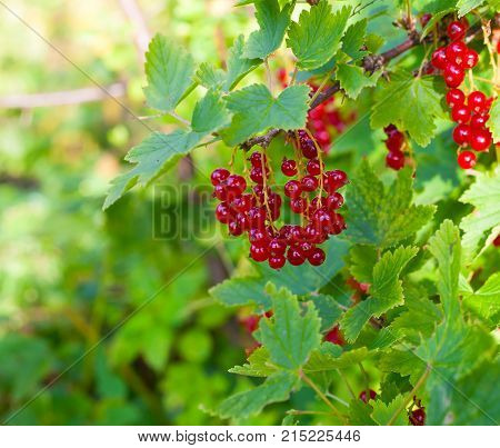 Bunch Of Red Currant