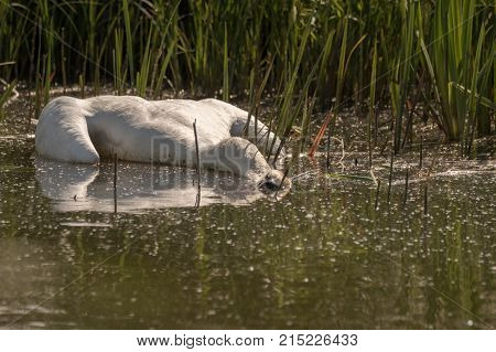 Dead Mute Swan, Cygnus olor, floating in the water in summer with green grass in the background. Sweden, Europe