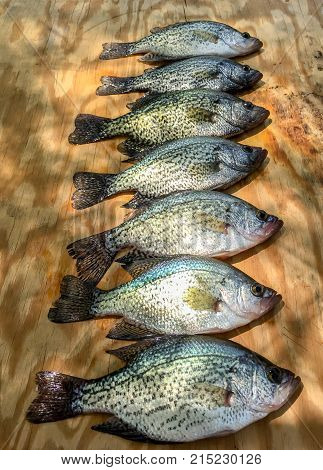 Crappie freshwater fish displayed on wood board.  Fisherman's catch of the day ready to clean.  Fun outdoor activity of sport fishing.