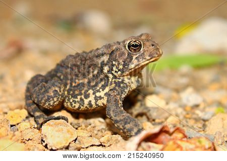 The American Toad (Bufo americanus) is an amphibian species commonly found in northern Illinois