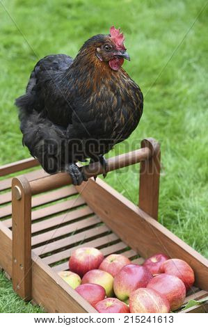 happy free range chicken looking at apples on a smallholding green grass in the background for text overlay
