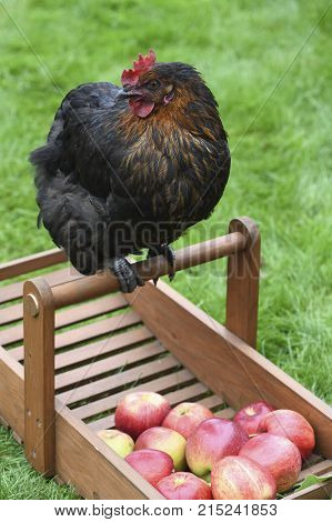 happy free range chicken looking to the side at apples on a smallholding green grass in the background for text overlay
